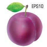 Śliwka odizolowywająca - wektor EPS 10 Obrazy Stock