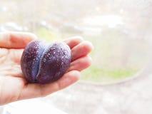 Śliwka w formie serca w kobiety ` s rękach Zdjęcia Royalty Free