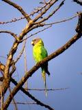 Śliwki Głowiasty Parakeet Fotografia Stock