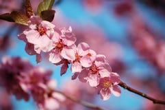 Śliwki kwiatonośna czarny gałąź Obrazy Stock