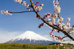 śliwki kwiatuszek x Obrazy Stock