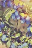 Śliwki na drzewie Fotografia Stock