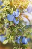 Śliwki na drzewie Obrazy Stock