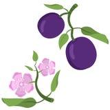 Śliwkowa owoc i kwiaty obraz stock