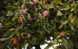 Śliwkowa owoc na gałąź Obraz Royalty Free
