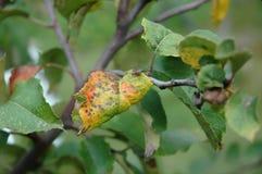 Śliwkowa zrudziała choroba na liściach Zdjęcia Royalty Free