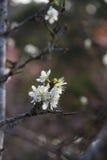 śliwkowego białe kwiaty Obrazy Royalty Free