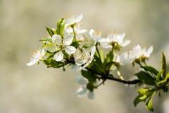 Śliwkowego drzewa Biali kwiaty obrazy royalty free