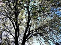 Śliwkowego drzewa wiosny kwiatonośny awakeningofnature Zdjęcie Royalty Free