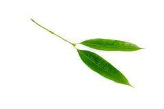 Śliwkowi mango liście odizolowywający na białym tle Obrazy Stock
