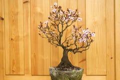 Śliwkowi okwitnięć bonsai puszkujący Zdjęcia Royalty Free