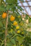 Śliwkowi pomidory Fotografia Royalty Free