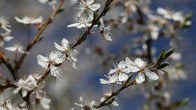 Śliwkowy drzewo. zbiory wideo