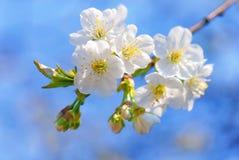 Śliwkowy drzewo kwitnie w kwiacie fotografia royalty free