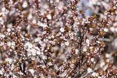 Śliwkowy drzewo Kwitnie W wiośnie Zdjęcia Stock
