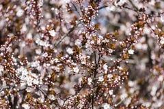 Śliwkowy drzewo Kwitnie W wiośnie Obraz Royalty Free