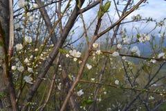 Śliwkowy drzewo Kwitnie W wiośnie Fotografia Stock