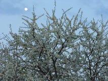 Śliwkowy kwitnąć przeciw wieczór niebu Fotografia Royalty Free