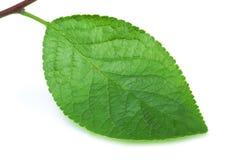Śliwkowy liść odizolowywający na bielu zdjęcia stock