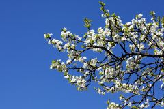 śliwkowy okwitnięcie biel Zdjęcie Royalty Free