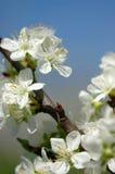 Śliwkowy okwitnięcie kwiat Fotografia Royalty Free