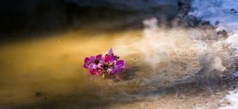 Śliwkowy okwitnięcie kwiat Zdjęcie Stock