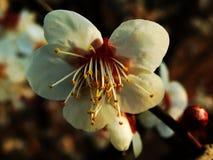 Śliwkowy okwitnięcie, kwiat, Biały śliwkowy okwitnięcie Fotografia Stock