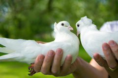 Ślubni gołębie Fotografia Royalty Free