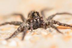 Śmiałego bluzy Phiddipus audax skokowy pająk Obraz Stock