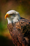 Śmiały Eagle z ciemnym tłem zdjęcie royalty free