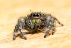 Śmiały Skokowy pająk przygotowywa jego fangs i chelicerae zdjęcia stock