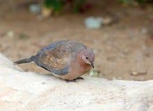 Śmia się gołąbki Spilopelia senegalensis Zdjęcia Royalty Free