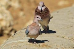 Śmiający się gołąbki Flirtuje z dziewczynami - Afrykański Dziki Ptasi tło - Zdjęcia Royalty Free