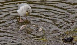 Śmieciarza ptasi łasowanie Zdjęcia Royalty Free