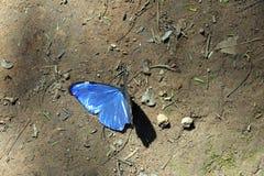Śmierć błękitny motyl na lasowej podłoga Fotografia Royalty Free