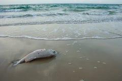 Śmierci ryba na plaży ponieważ zanieczyszczenie Fotografia Royalty Free