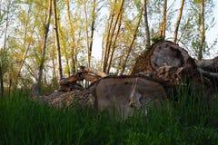 Śmiertelni drewna na zielonym łóżku Obraz Royalty Free