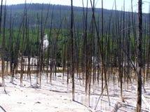 Śmiertelni drzewa w Cisterin Skaczą, Yellowstone NP Obraz Stock
