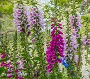Śmiertelni naparstnica kwiaty obrazy royalty free