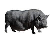 Śmieszna łaciasta czarna wietnamczyk świnia odizolowywająca na bielu Bellied młoda żeńska świniowata pełna długość odizolowywając zdjęcia royalty free