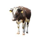 Śmieszna śliczna krowa odizolowywająca na bielu Trwanie brown krowa Zdjęcia Stock