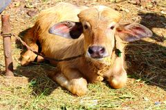 Śmieszna śliczna wiązana łydka z dużymi ucho kłama na bydło spojrzeniach przy kamerą i gospodarstwie rolnym Fotografia Stock
