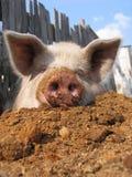śmieszna świnia Obrazy Royalty Free