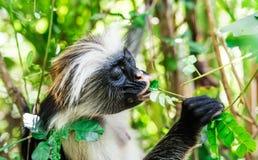 Śmieszna afrykanin małpa je zielonej rośliny Zdjęcia Royalty Free