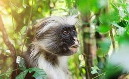 Śmieszna afrykanin małpa je zielonej rośliny Obrazy Royalty Free