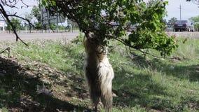 Śmieszna duża thoroughbred kózka żuć ulistnienie, dostaje dwa cieki z ogromnymi rogami od drzewa i nie daleko od Tbilisi, zbiory wideo