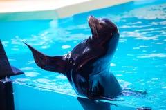 Śmieszna foka macha jego flipper w zoo w Tenerife, Hiszpania obraz royalty free