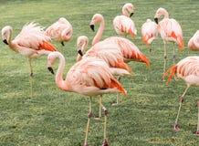 śmieszna grupa flamingi wśród trawy i palm Obrazy Royalty Free