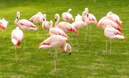 śmieszna grupa flamingi wśród trawy i palm Fotografia Stock