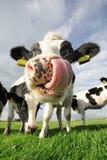 Śmieszna krowa Obrazy Royalty Free